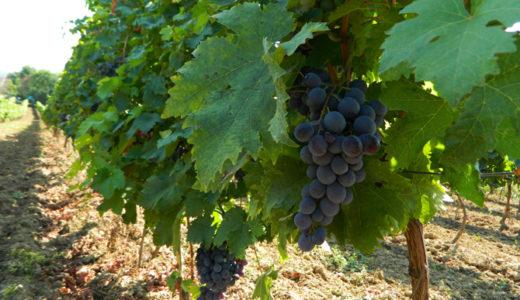 収穫前の葡萄園を見学 in スレムスキ・カルロブチ